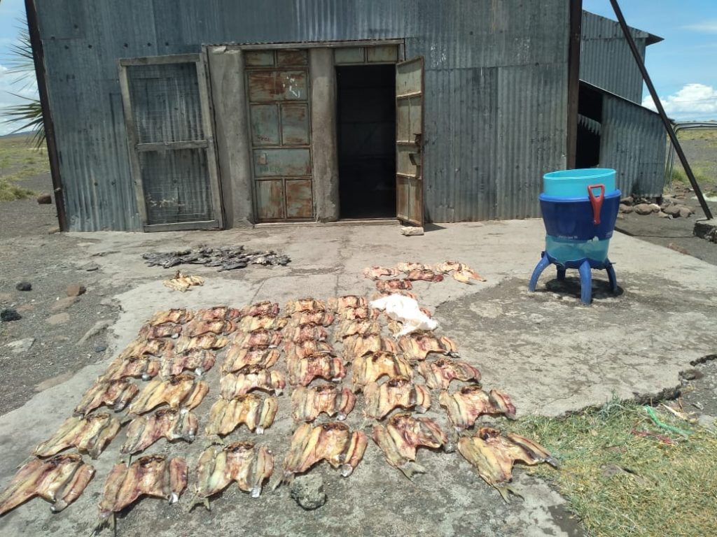 El Molo community in Kenya rely on fishing in Lake Turkana. Here is a picture of dried fish kept in a story ready to be taken to market.